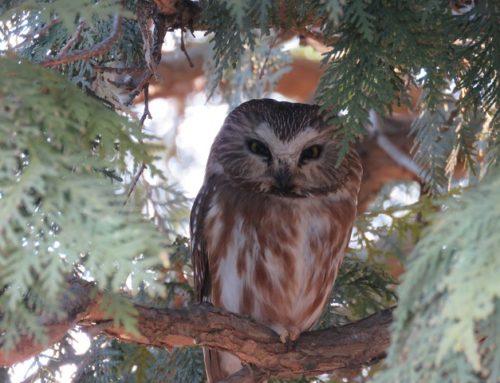 Brainerd Birding Report: April 17, 2020