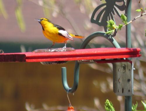 Brainerd Birding Report: May 8, 2020