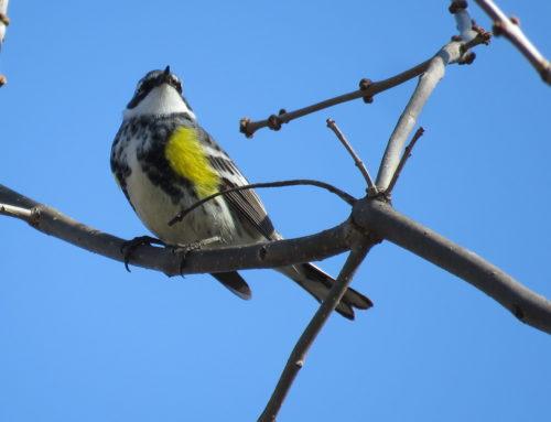 Brainerd Birding Report: May 1, 2020