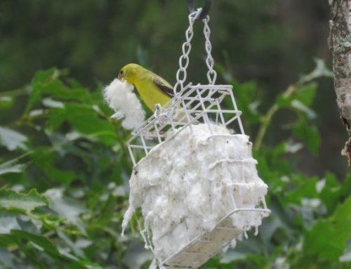 Brainerd Birding Report: July 3, 2020
