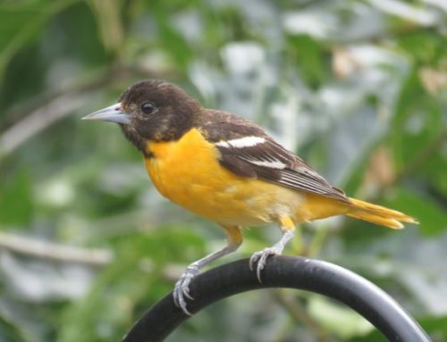 Brainerd Birding Report: July 10, 2020