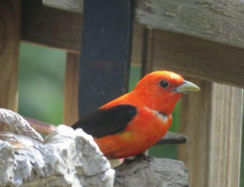 Brainerd Birding Report: July 24, 2020