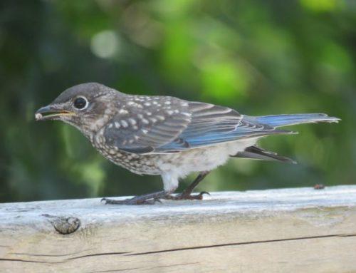 Brainerd Birding Report: July 31, 2020